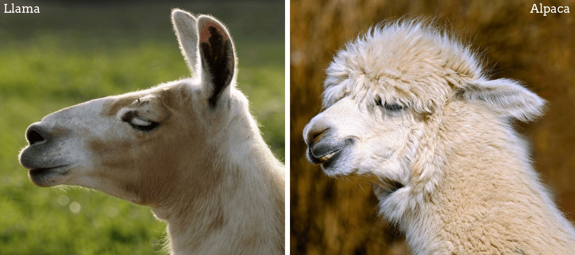 Difference of alpaca and llama